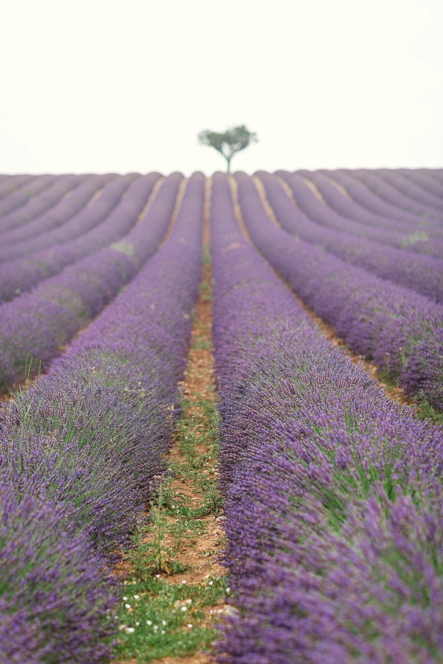 Provence Lavender French Grey Photography 23